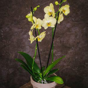 Phalaenopsis Lemon