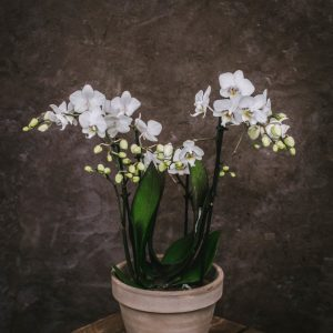 Phalaenopsis Wild White